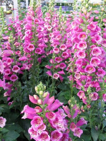 Digitalis purpurea 'Castor Rose' - Vingerhoedskruid