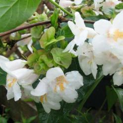 Dipelta floribunda  -