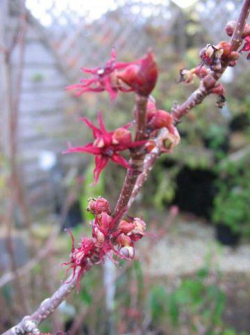 Disanthus cercidifolius  - Dubbelbloem
