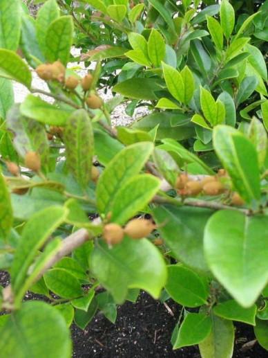 Distylium racemosum  - Winter toverhazelaar