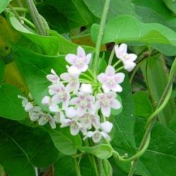Dregea sinensis  -
