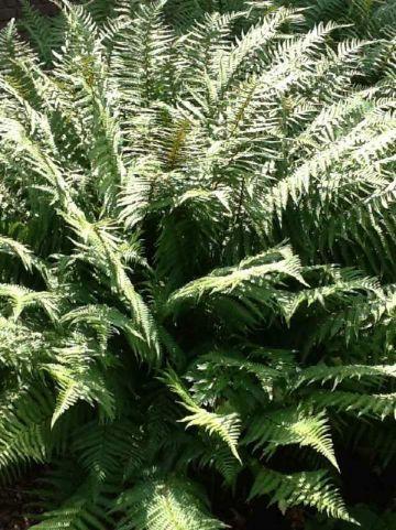 Dryopteris affinis  - Varen