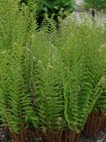 Dryopteris filix-mas - Mannetjesvaren