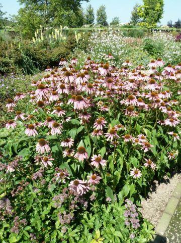 Echinacea purpurea - Zonnehoed