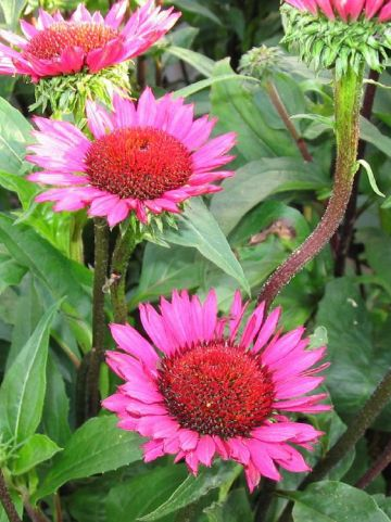 Echinacea 'Fatal Attraction' - Zonnehoed