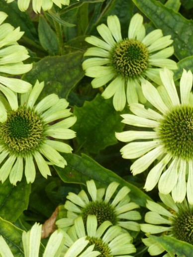 Echinacea purpurea 'Green Jewel' - Rode zonnehoed