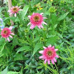 Echinacea purpurea 'Pink Double Delight' - Dubbele zonnehoed