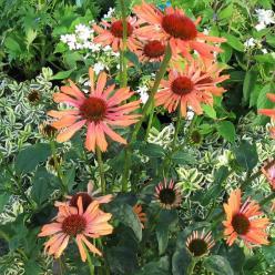 Echinacea purpurea 'Sundown' - Zonnehoed
