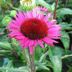 Echinacea purpurea 'Vintage Wine' - Rode zonnehoed