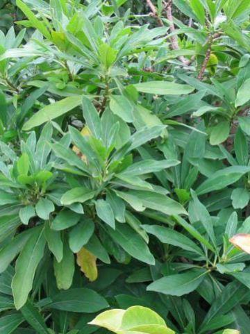 Edgeworthia chrysantha  -