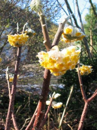 Edgeworthia chrysantha 'Grandiflora' -