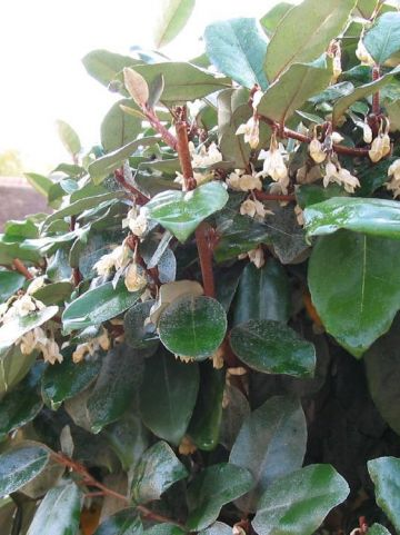Elaeagnus ebbingei - Olijfwilg