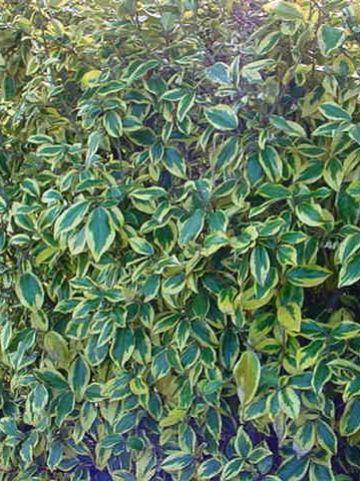 Elaeagnus ebbingei 'Gilt Edge' - Bontbladige olijfwilg