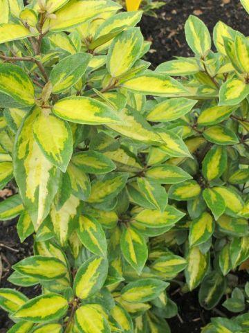 Elaeagnus × ebbingei  'Limelight' - Bontbladige olijfwilg