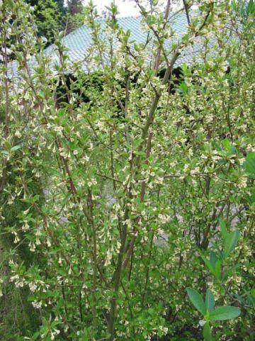 Elaeagnus multiflora  - Olijfwilg
