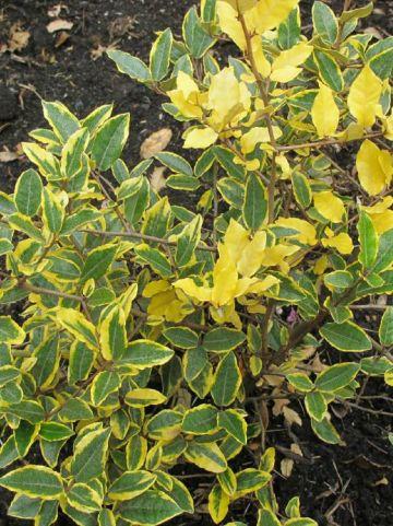 Elaeagnus pungens 'Goldrim' - Bontbladige olijfwilg , Olijfwilg, bontbladig