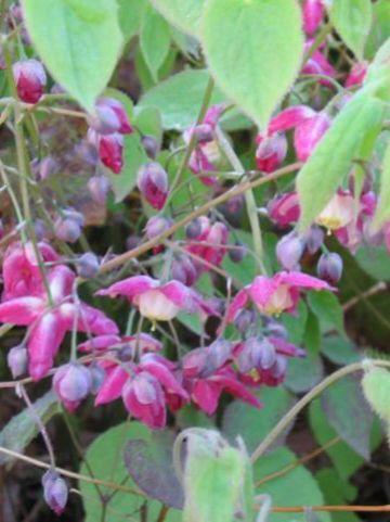Epimedium × rubrum  - Elfenbloem