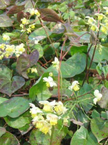 Epimedium × versicolor 'Sulphureum' - Elfenbloem