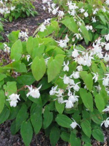 Epimedium youngianum 'Niveum' - Elfenbloem
