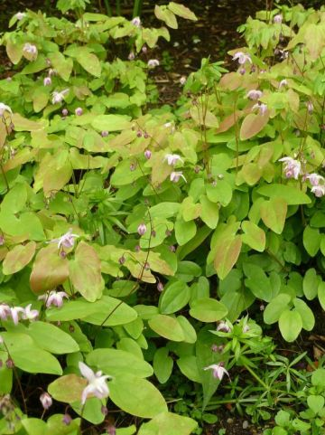 Epimedium youngianum 'Roseum' - Elfenbloem