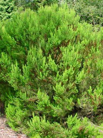 Erica arborea 'Alpina' - Boomheide