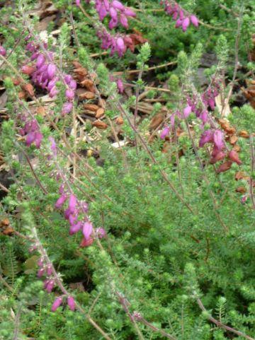 Erica ciliaris 'Bretagne' - Wimperheide