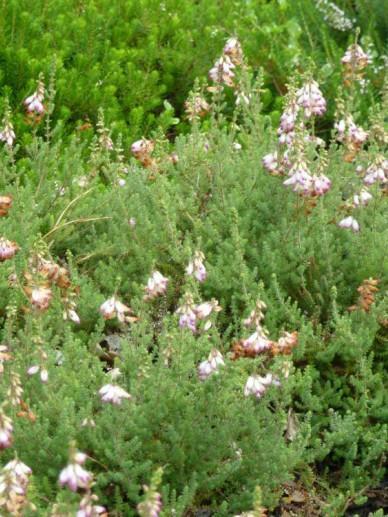Erica ciliaris 'David McClintock' - Wimperheide