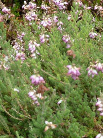 Erica ciliaris 'David McClintock' - Wimperheide