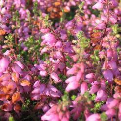 Erica ciliaris 'Globosa' - Wimperheide