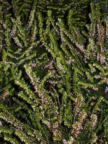Erica × darleyensis  'Darley Dale' - Winterheide