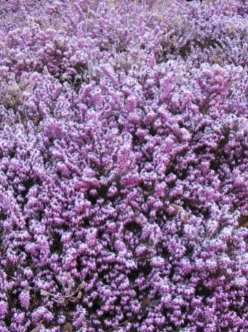 Erica × darleyensis  'Furzey' - Winterheide
