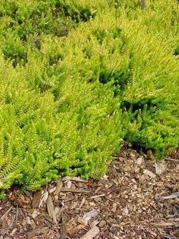 Erica × darleyensis  'Jack H. Brummage' - Winterheide