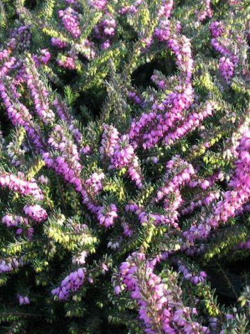 Erica × darleyensis  'Kramer's Rote' - Winterheide