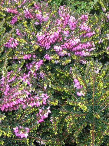 Erica × darleyensis  'Lena' - Winterheide