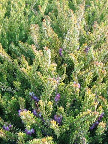 Erica × darleyensis  'Mary Helen' - Winterheide
