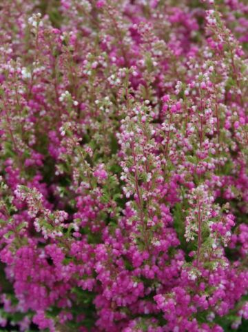 Erica gracilis  - Slanke heide