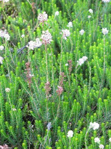 Erica spiculifolia  -