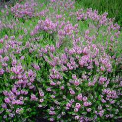 Erica vagans 'Pyrenees Pink' - Zwerfheide