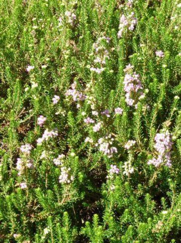Erica williamsii 'P.D. Williams' - Heide
