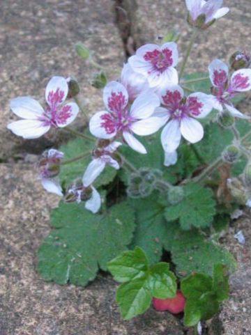 Erodium trifolium  - Reigersbek