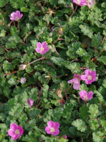 Erodium x variabile 'Bishop's Form' - Reigersbek