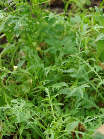 Eruca vesicaria  - Rucola , Raketsla , Mosterdkruid
