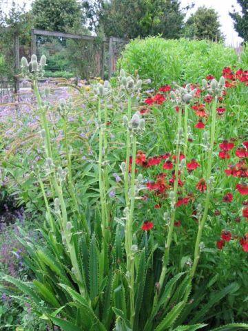 Eryngium agavifolium - Agaafbladige kruisdistel