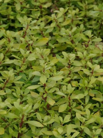 Escallonia  'Golden Carpet' (='Alcaura') -