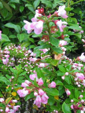 Escallonia  'Apple Blossom' -