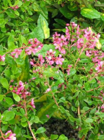 Escallonia  'Dart's Rosyred' -