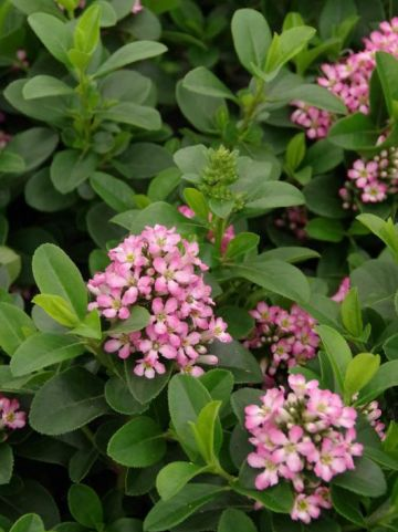 Escallonia laevis 'Pink Elle' (='Lades') -
