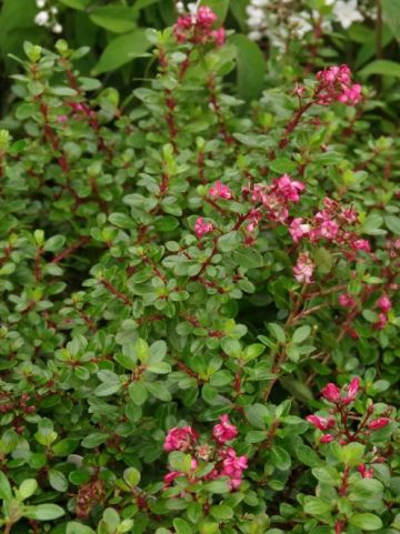 Escallonia 'Red Dream' - /