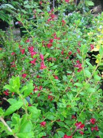 Escallonia  'Red Elf' -