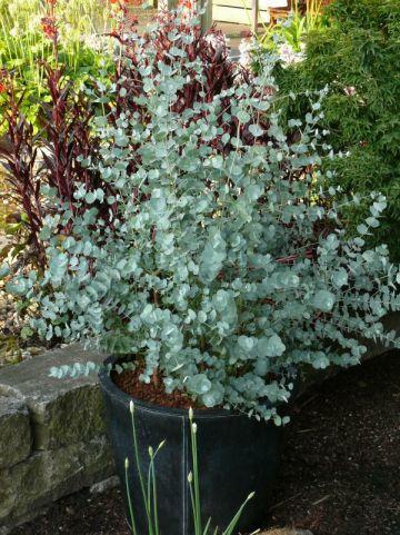 Eucalyptus gunnii 'Azura' (='Cagire') - Gomboom
